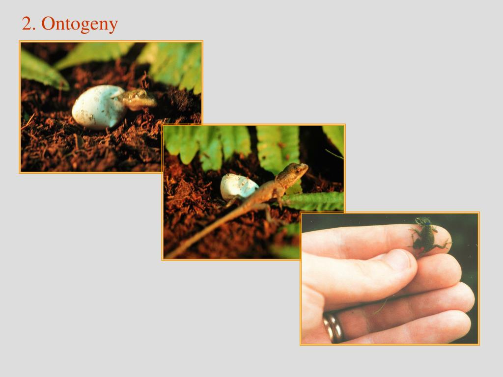 2. Ontogeny