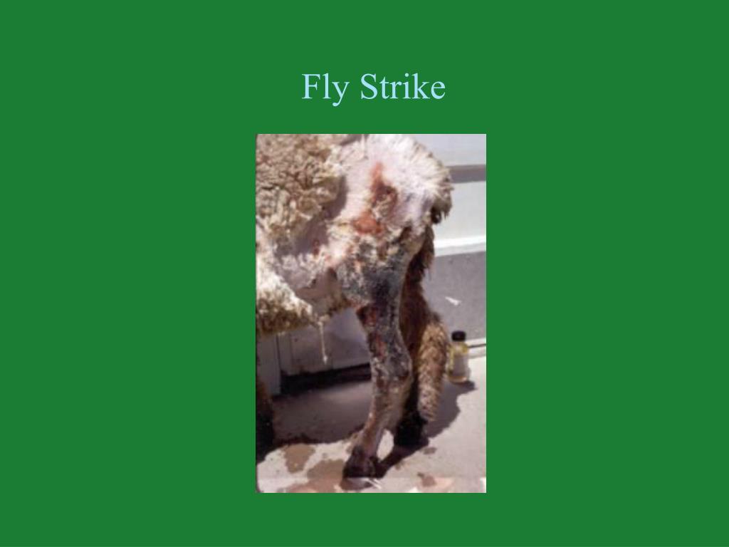 Fly Strike