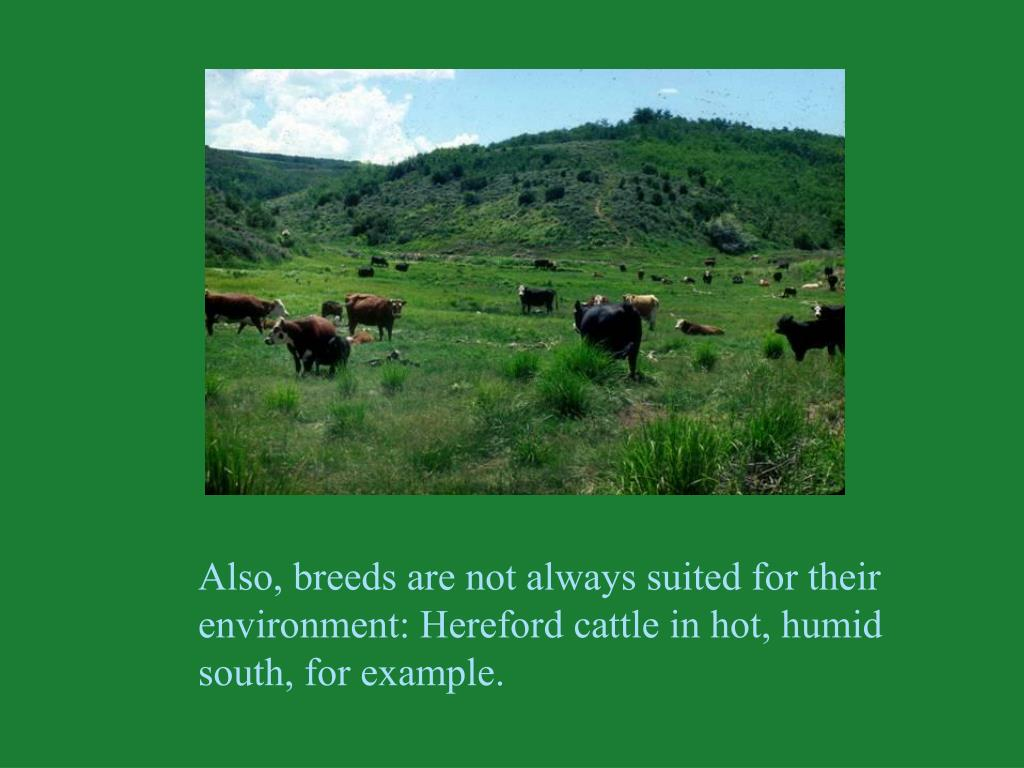Also, breeds are not always suited for their environment: Hereford cattle in hot, humid south, for example.