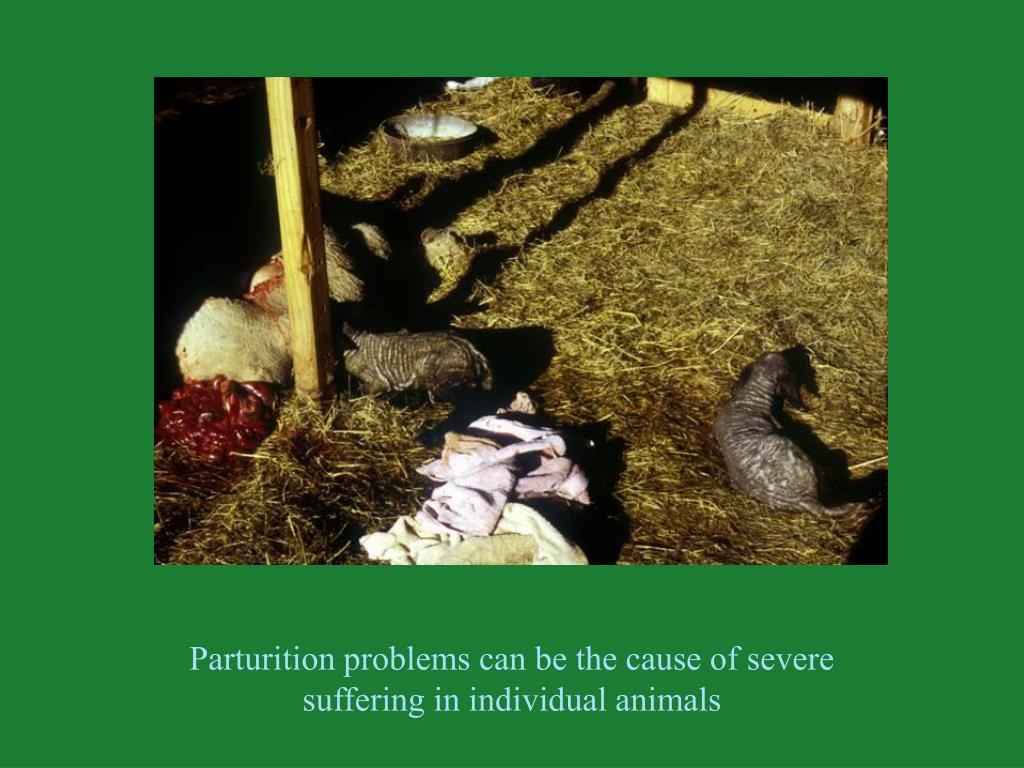 Parturition problems can be the cause of severe                     suffering in individual animals