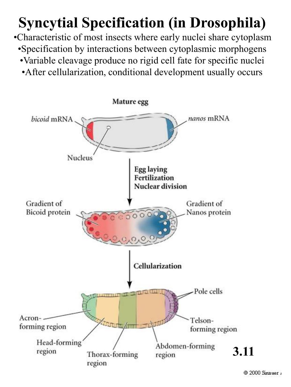 Syncytial Specification (in Drosophila)