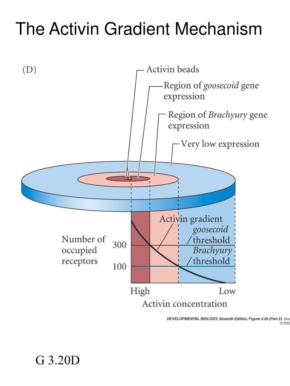 The Activin Gradient Mechanism