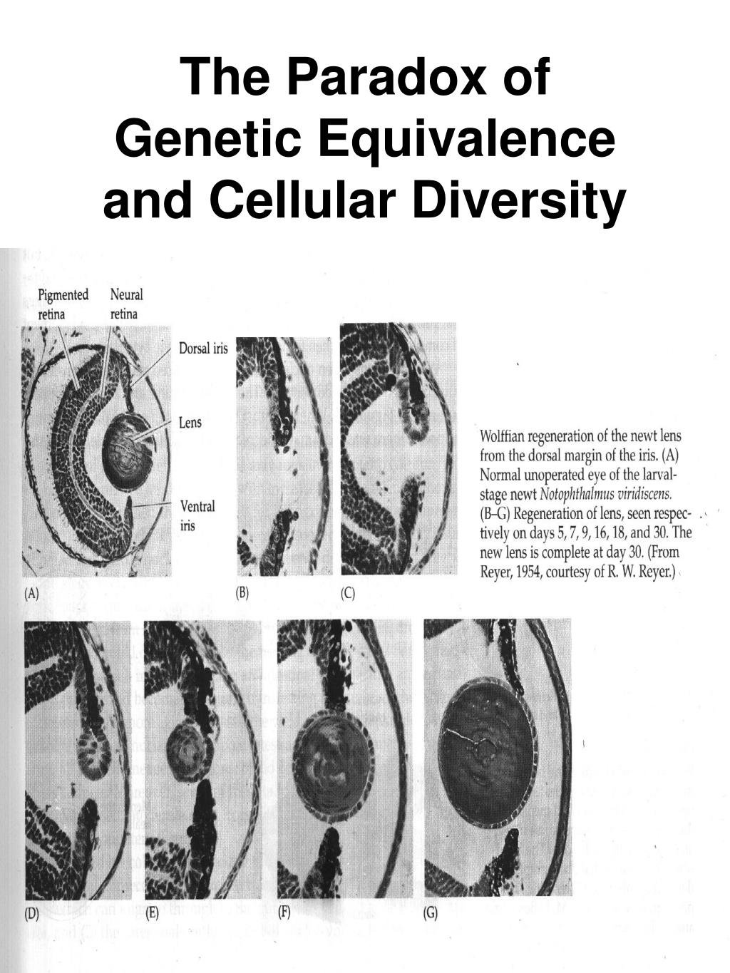 The Paradox of Genetic Equivalence and Cellular Diversity