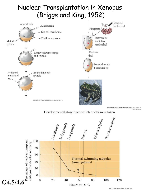 Nuclear Transplantation in Xenopus