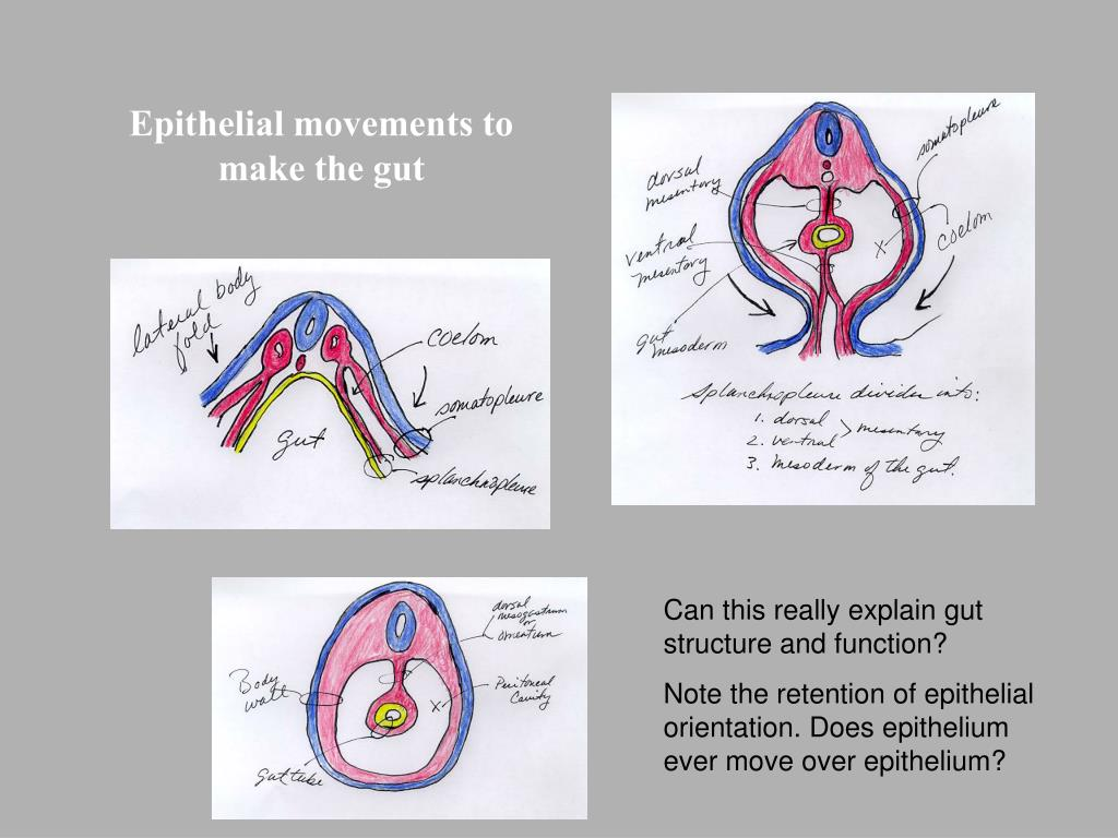 Epithelial movements to make the gut