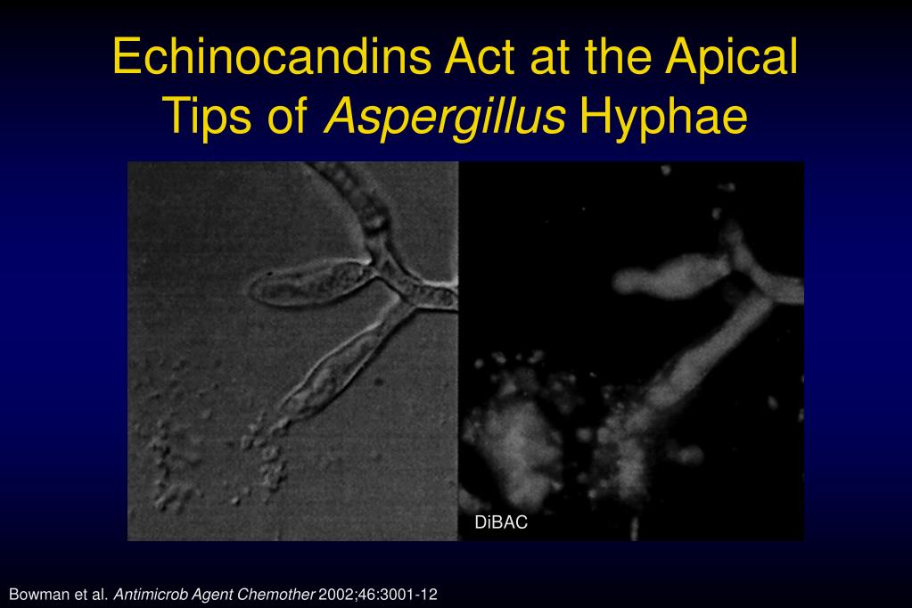 Echinocandins Act at the Apical Tips of