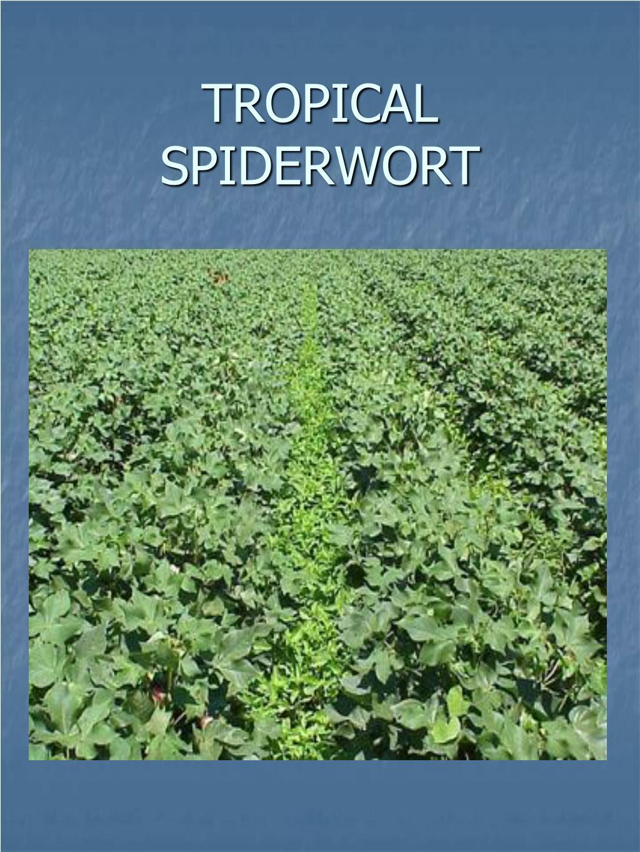 TROPICAL SPIDERWORT