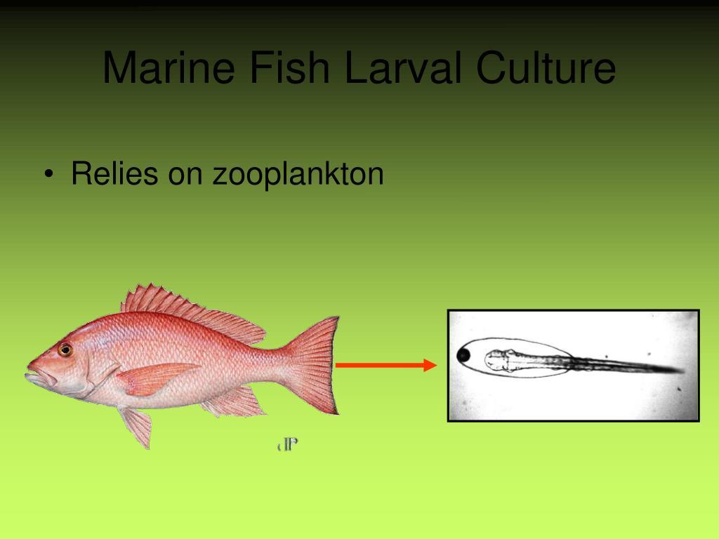 Marine Fish Larval Culture