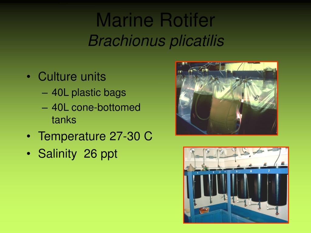 Marine Rotifer
