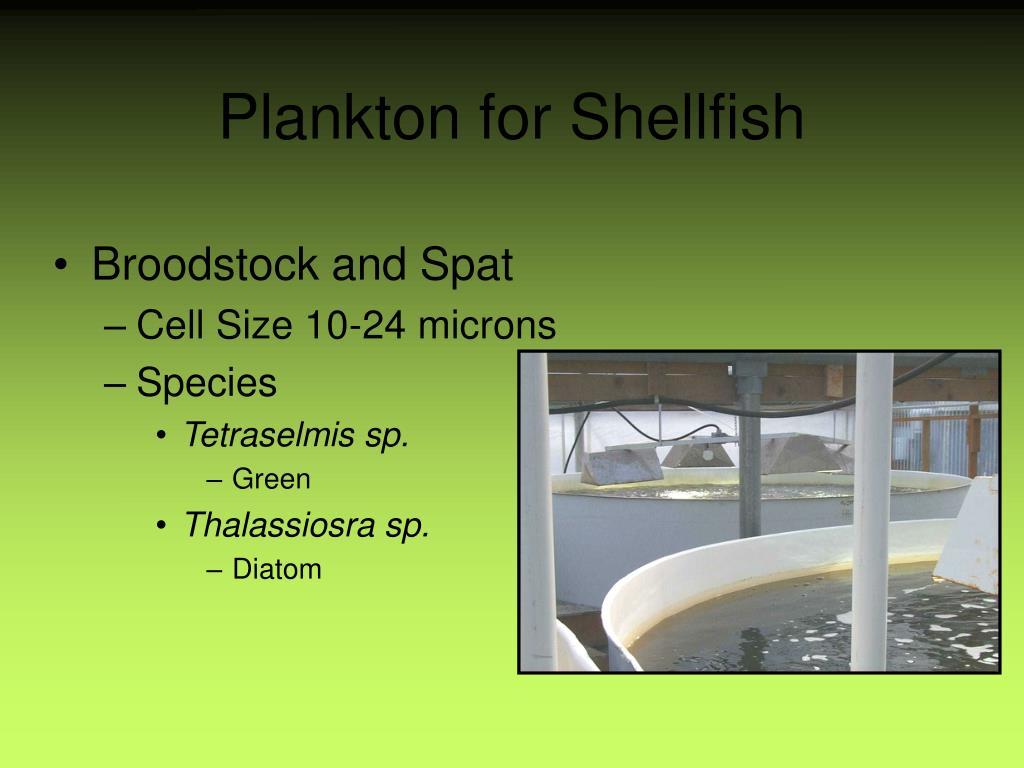 Plankton for Shellfish