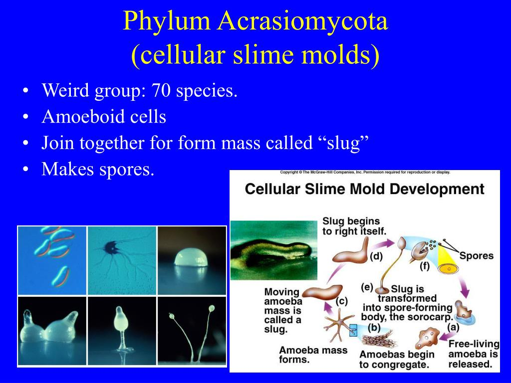 Phylum Acrasiomycota