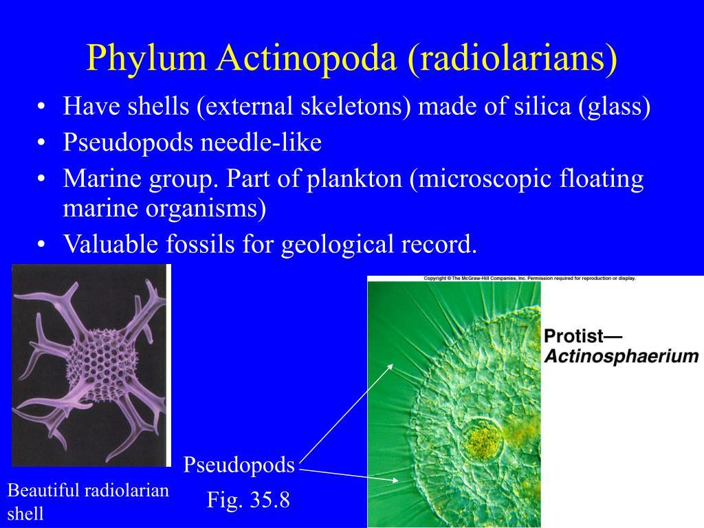 Phylum Actinopoda (radiolarians)