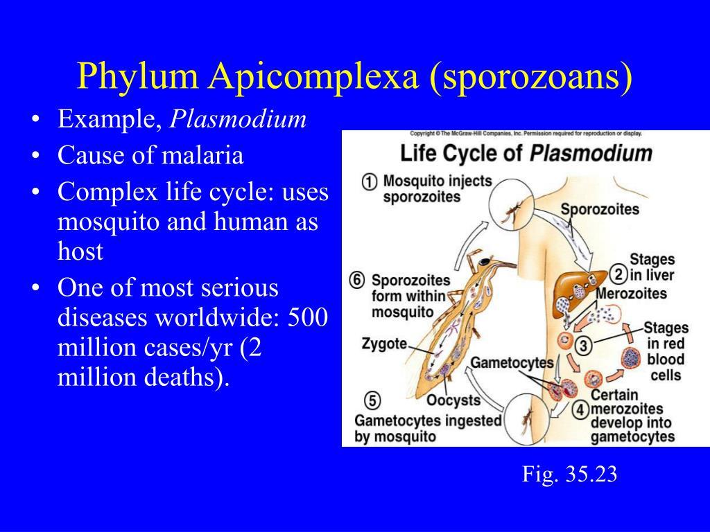 Phylum Apicomplexa (sporozoans)