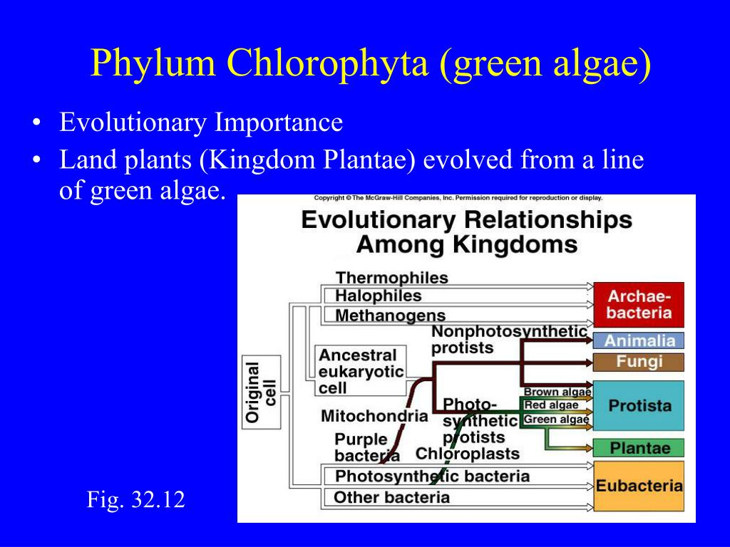 Phylum Chlorophyta (green algae)