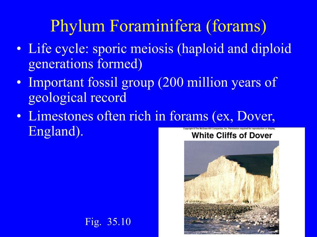 Phylum Foraminifera (forams)