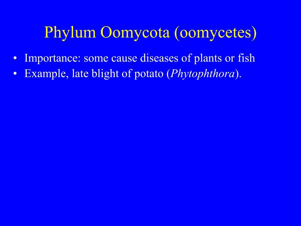 Phylum Oomycota (oomycetes)
