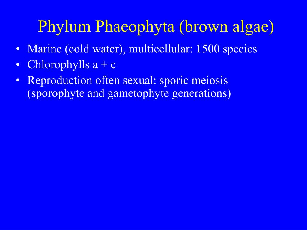 Phylum Phaeophyta (brown algae)