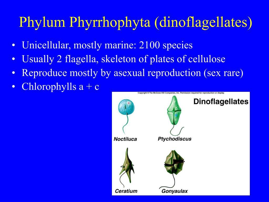 Phylum Phyrrhophyta (dinoflagellates)