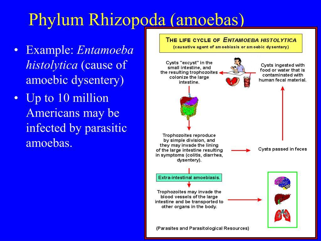 Phylum Rhizopoda (amoebas)