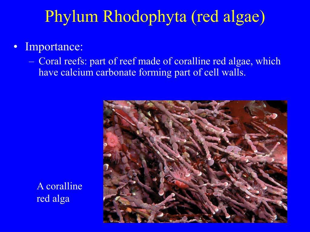 Phylum Rhodophyta (red algae)