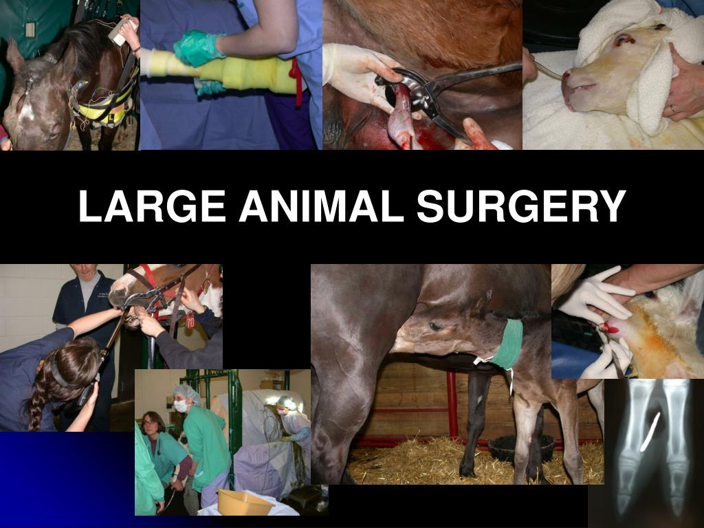 LARGE ANIMAL SURGERY