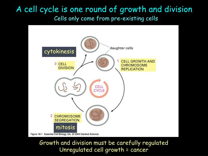 A cell cycle is one round of growth and division l.jpg
