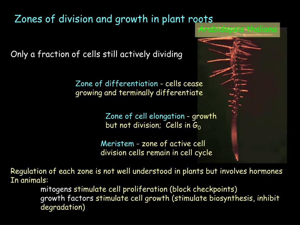 Zones of division and growth in plant roots
