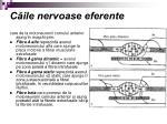 c ile nervoase eferente