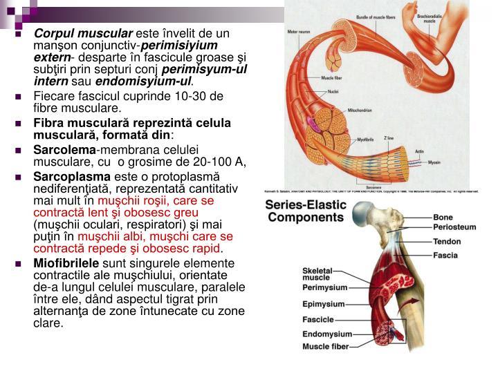 Corpul muscular