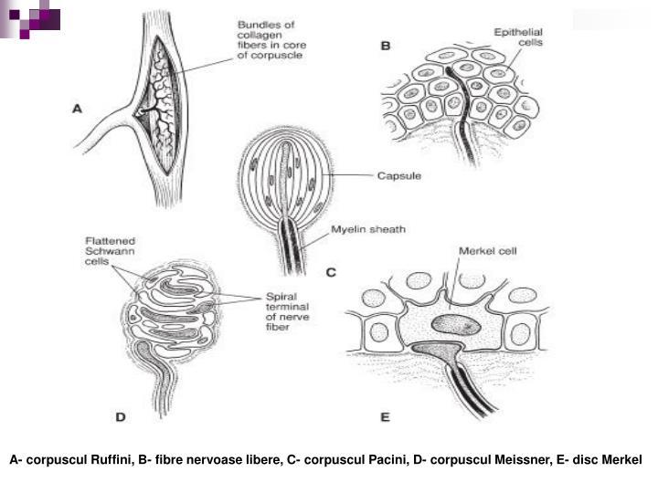 A- corpuscul Ruffini, B- fibre nervoase libere, C- corpuscul Pacini, D- corpuscul Meissner, E- disc Merkel