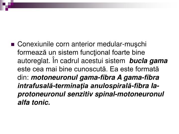 Conexiunile corn anterior medular-muşchi formează un sistem funcţional foarte bine autoreglat. În cadrul acestui sistem
