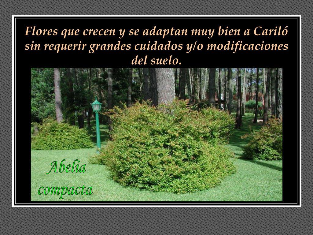 Flores que crecen y se adaptan muy bien a Cariló sin requerir grandes cuidados y/o modificaciones del suelo.