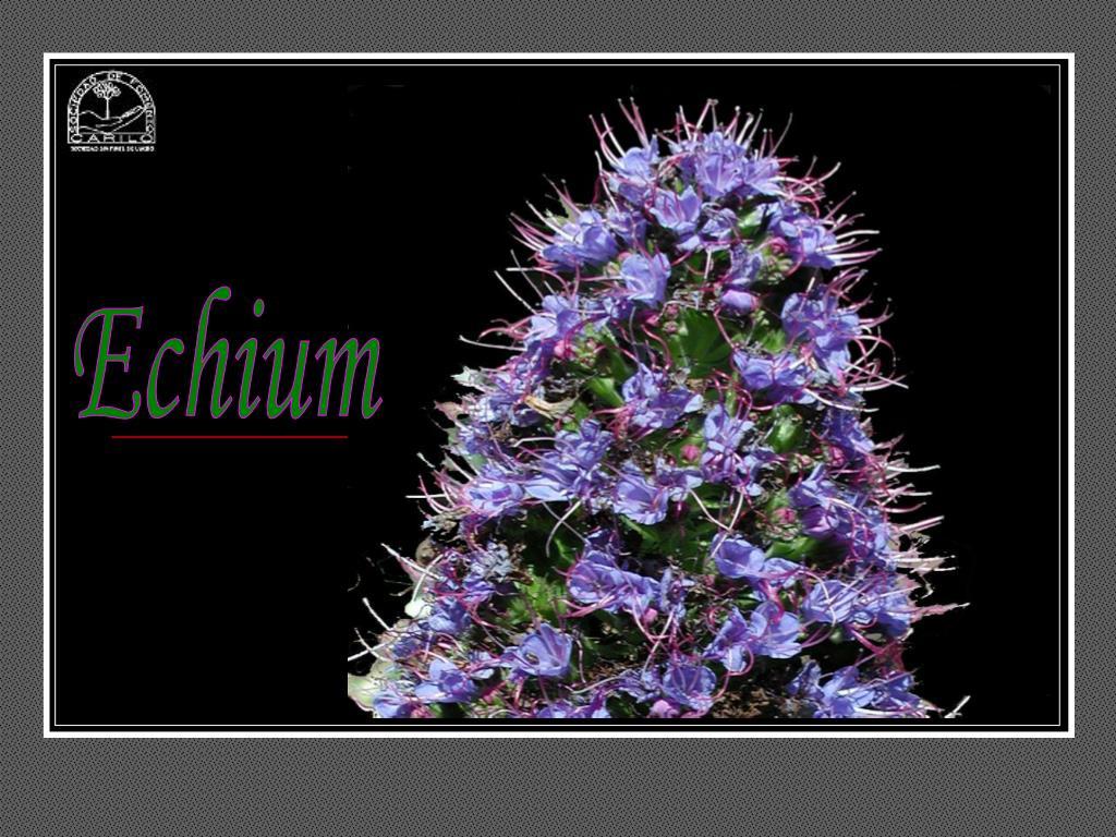 Echium