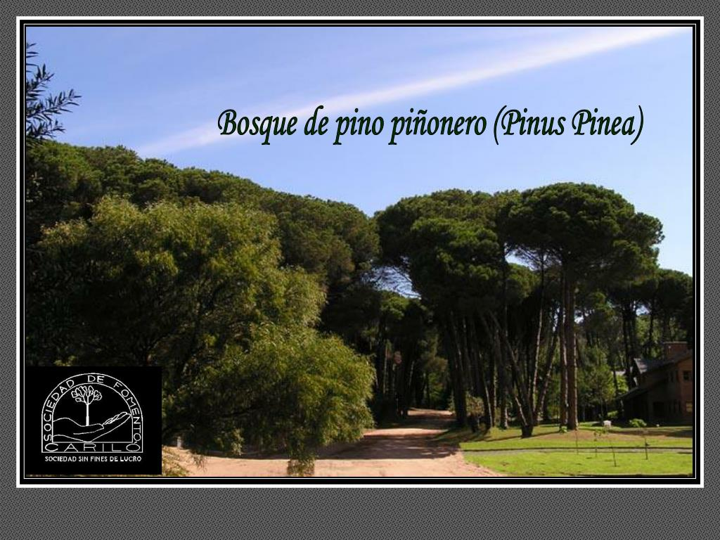 Bosque de pino piñonero (Pinus Pinea)