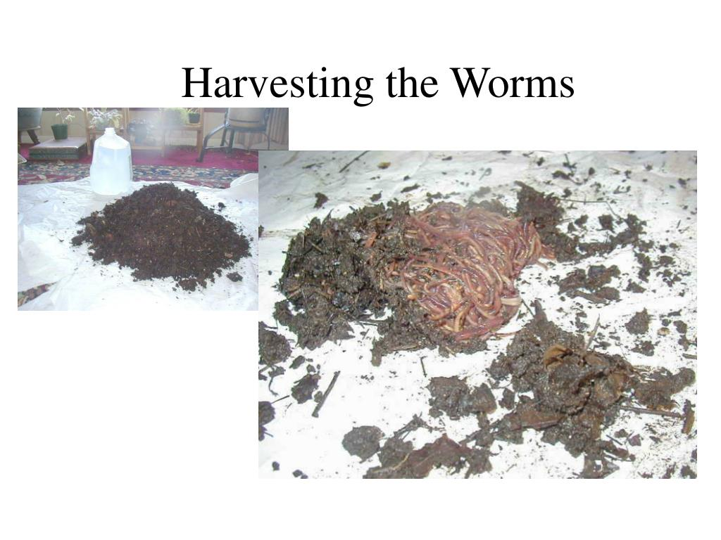 Harvesting the Worms