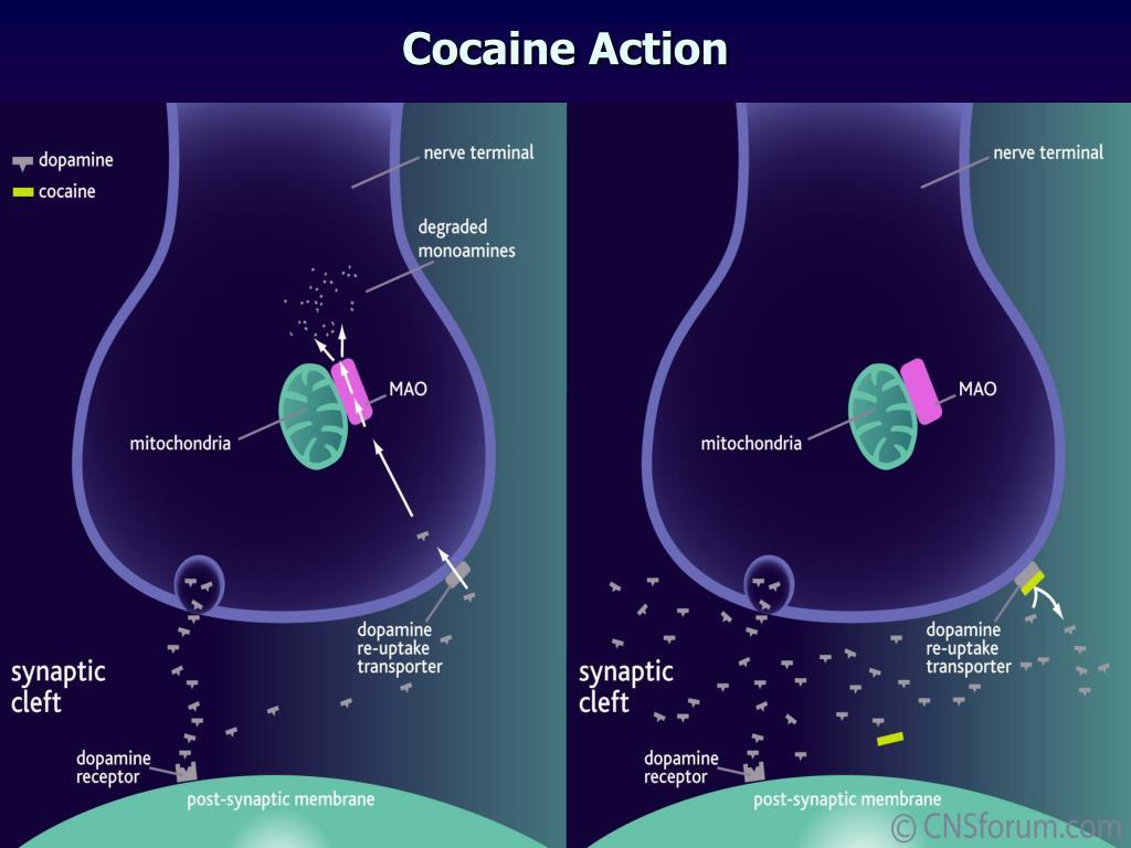 Cocaine Action