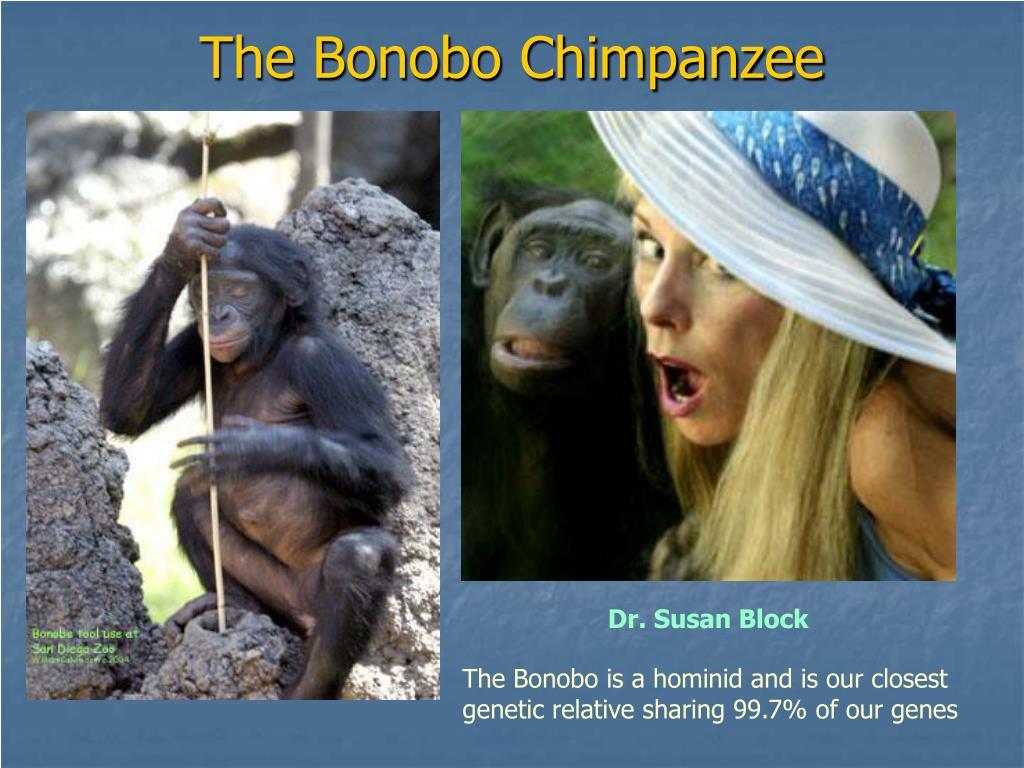The Bonobo Chimpanzee