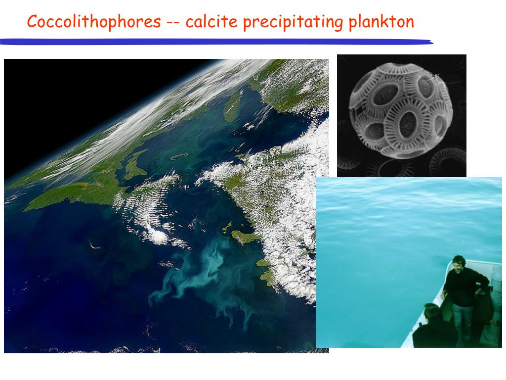 Coccolithophores -- calcite precipitating plankton