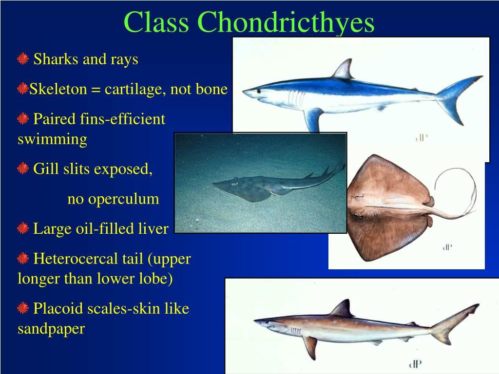Class Chondricthyes