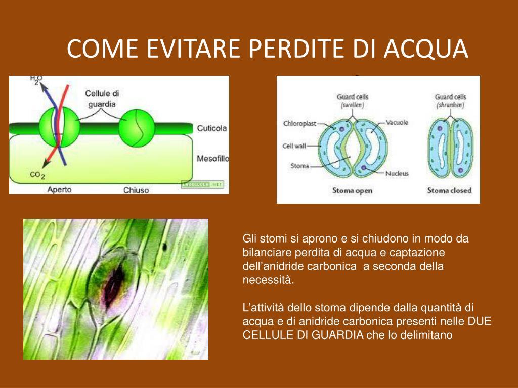 PPT - L'EVOLUZIONE DELLE PIANTE PowerPoint Presentation - ID:239010