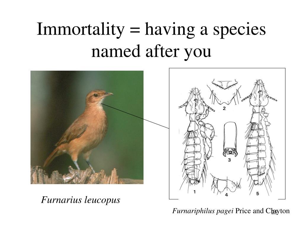 Furnarius leucopus