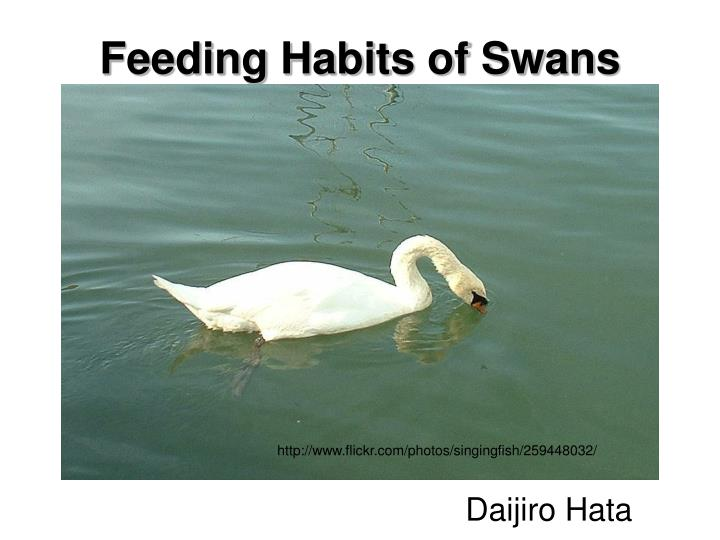 Feeding habits of swans l.jpg