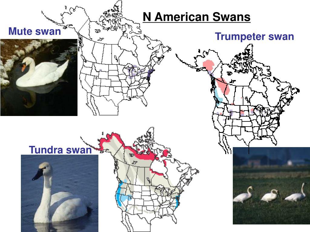N American Swans