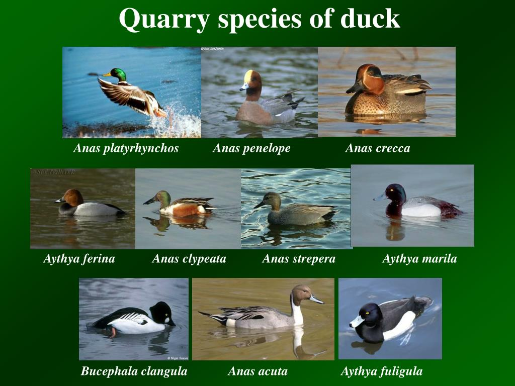 Quarry species of duck