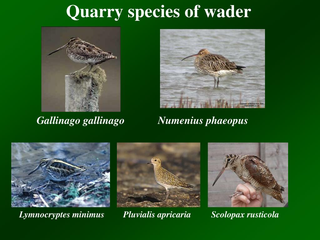 Quarry species of wader