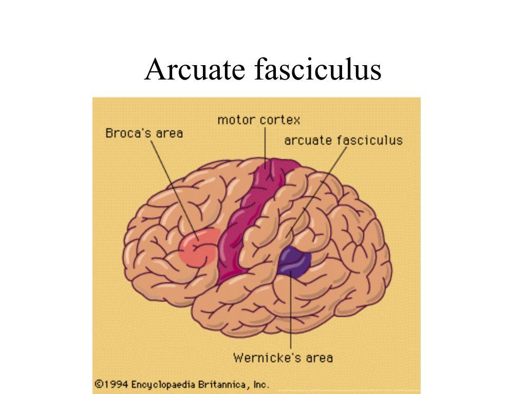 Arcuate fasciculus