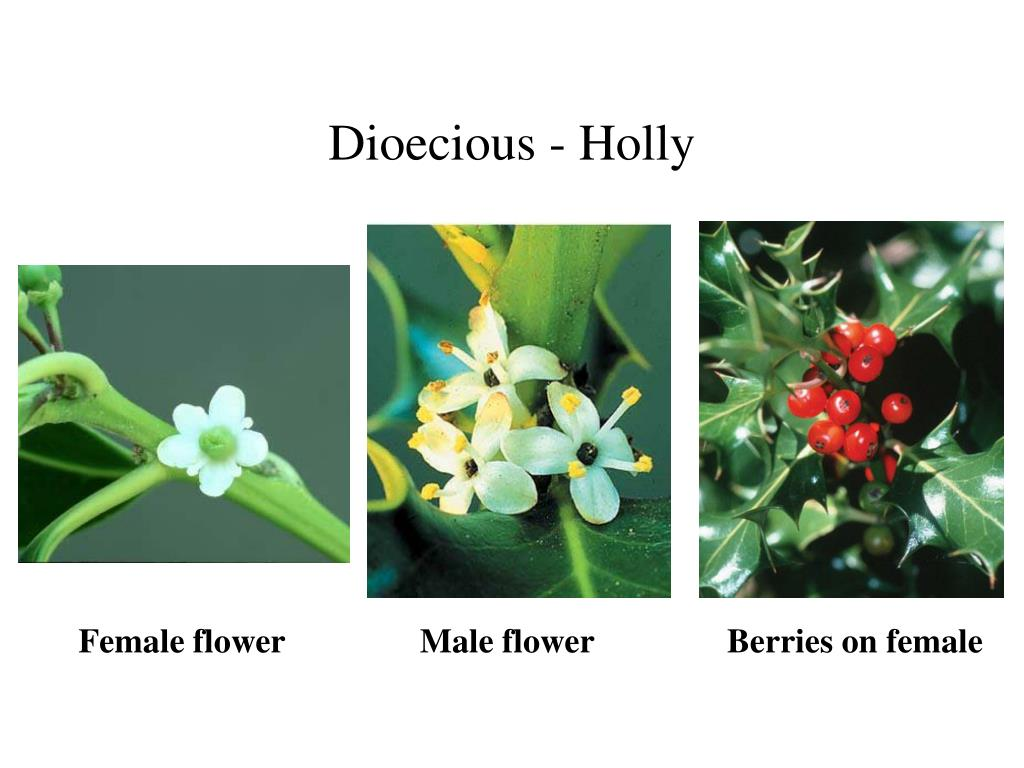 Dioecious - Holly