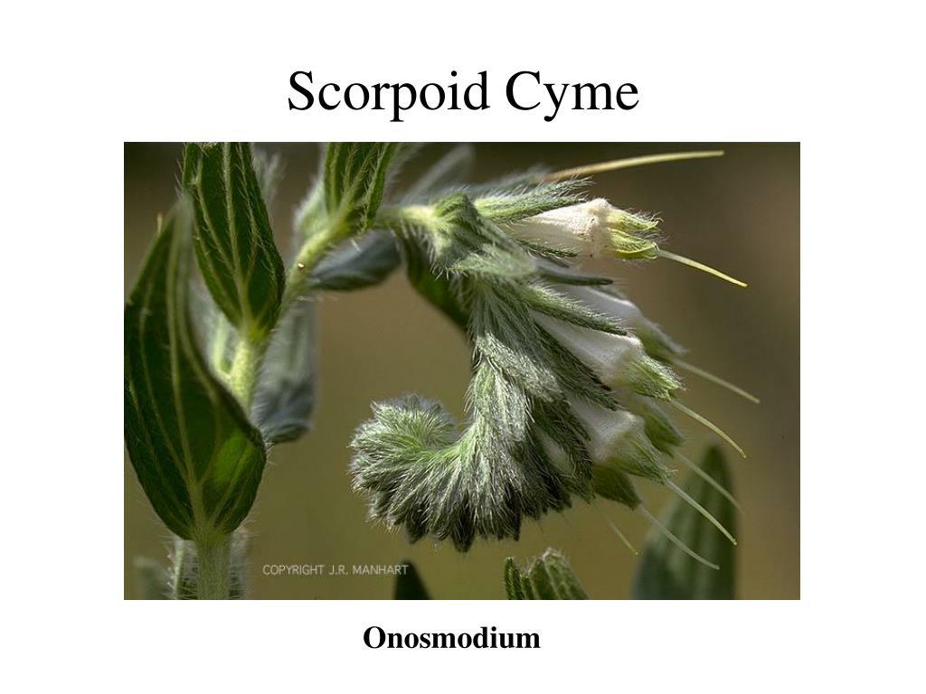 Scorpoid Cyme