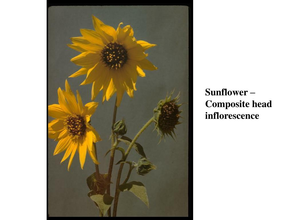 Sunflower –