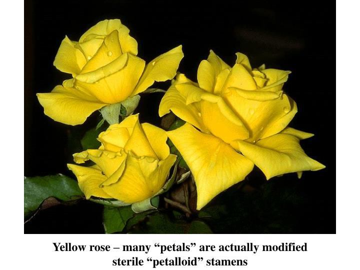 "Yellow rose – many ""petals"" are actually modified"